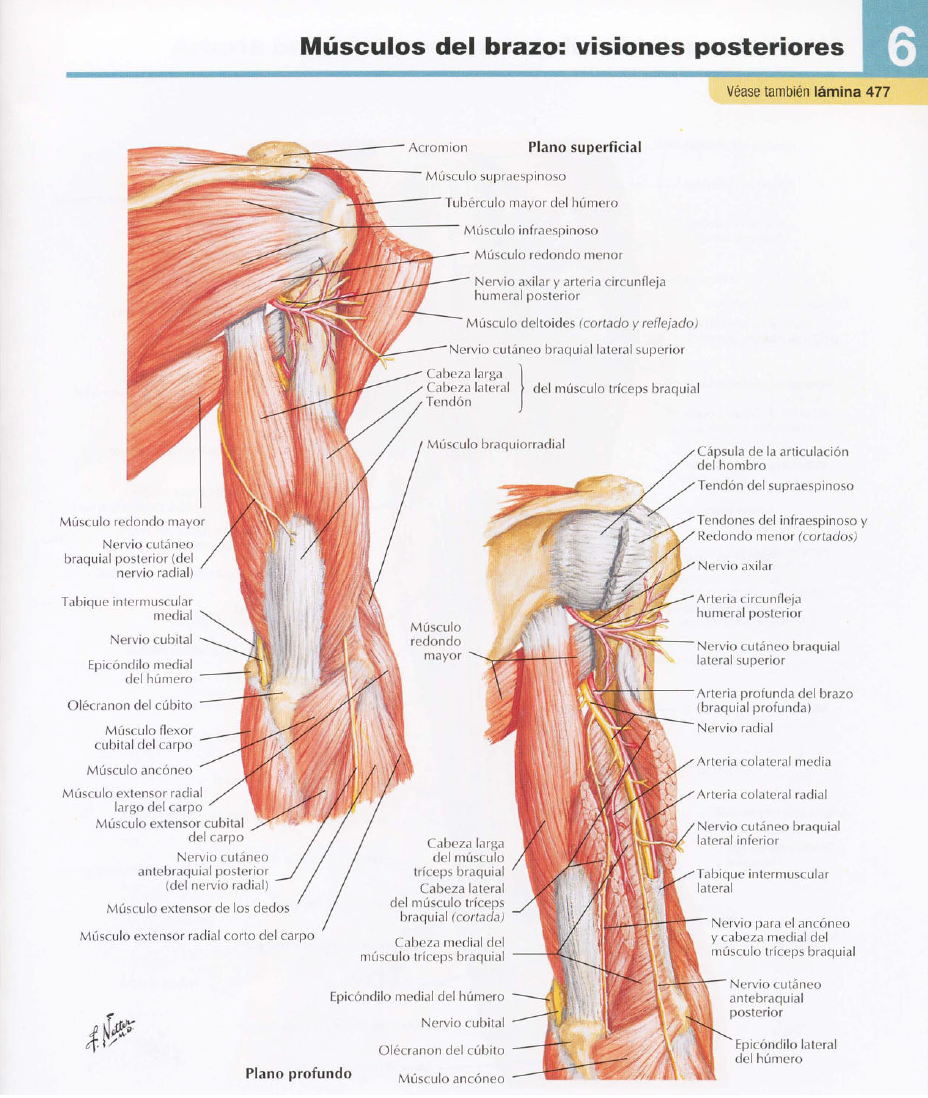 musculos brazo cara posterior.png (Imagen PNG, 928 × 1098 píxeles ...