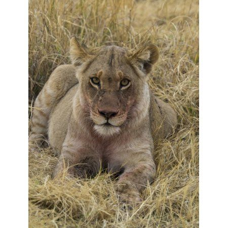 Lion (Panthera leo) with bloody mouth after eating recent impala kill Okavango Delta Botswana Canvas Art - Panoramic Images (12 x 16)