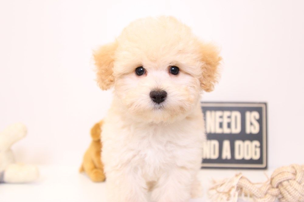Puff Perfect Female Poochon Puppy Poochon Puppies Puppies
