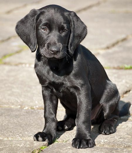 labrador springer mix