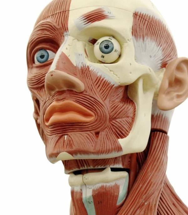 Image result for eye in socket   Eye anatomy, Eye drawing ...