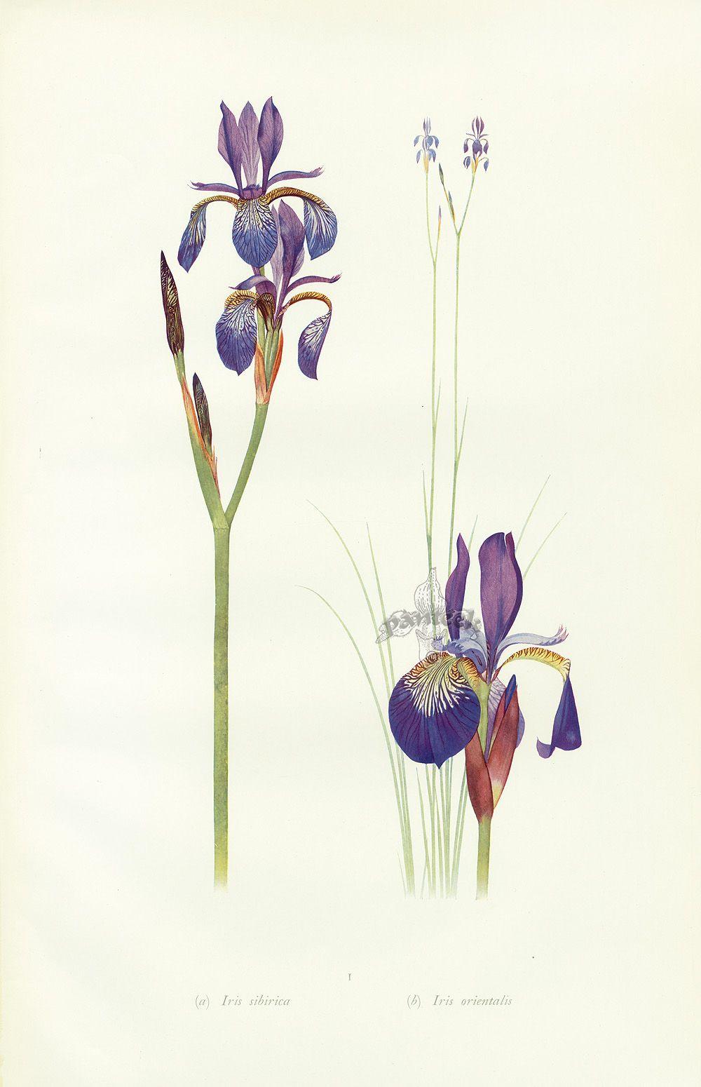 Iris sibirica iris orientalis antique botanical prints iris sibirica iris orientalis izmirmasajfo