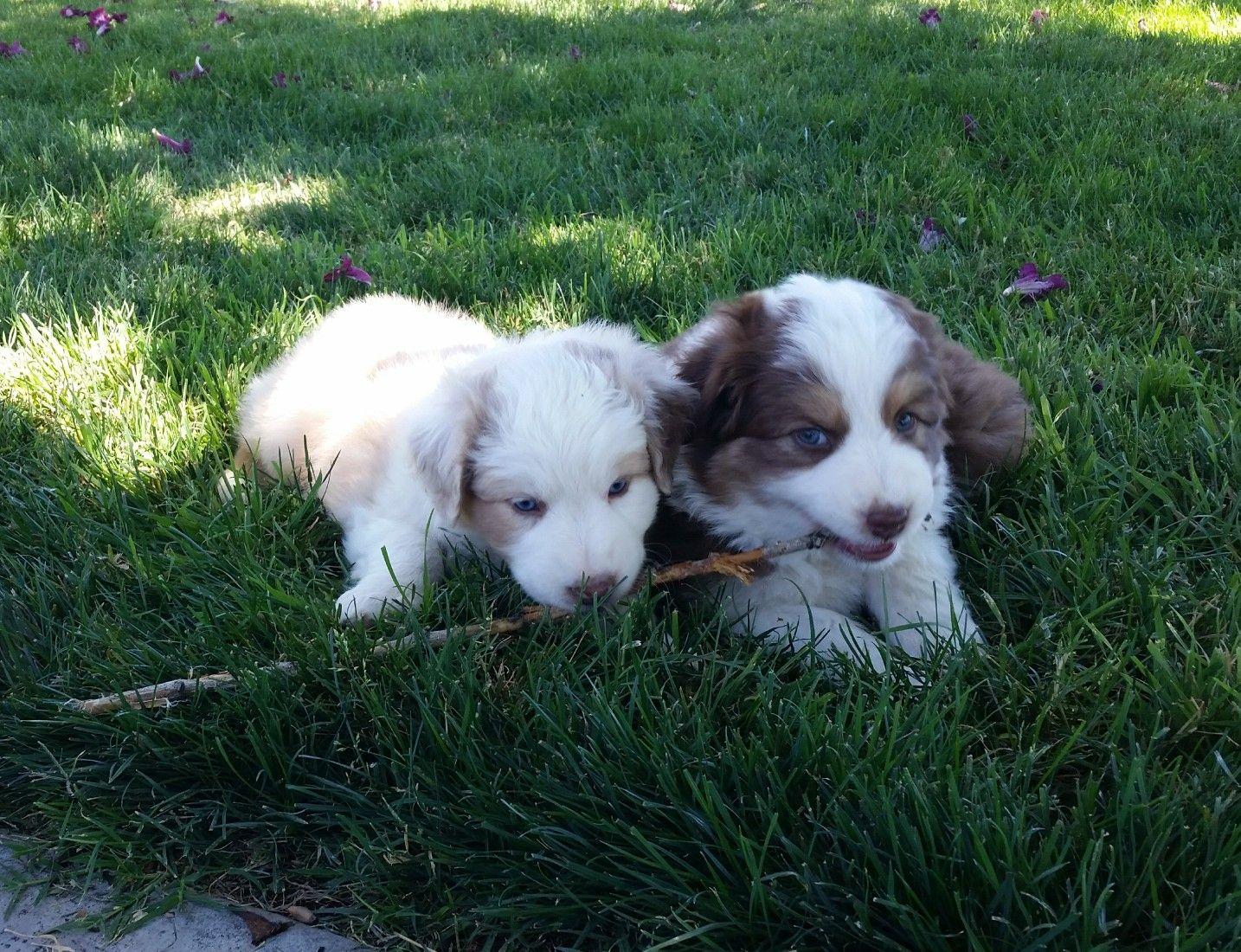 Carman Aussies puppies Hockley & Avery. Puppies, Carman
