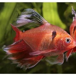 Arizona Aquatic Gardens Long Fin Red Minor Serpae Tetra Tropical Fish Aquarium Aquarium Fish Tetra Fish