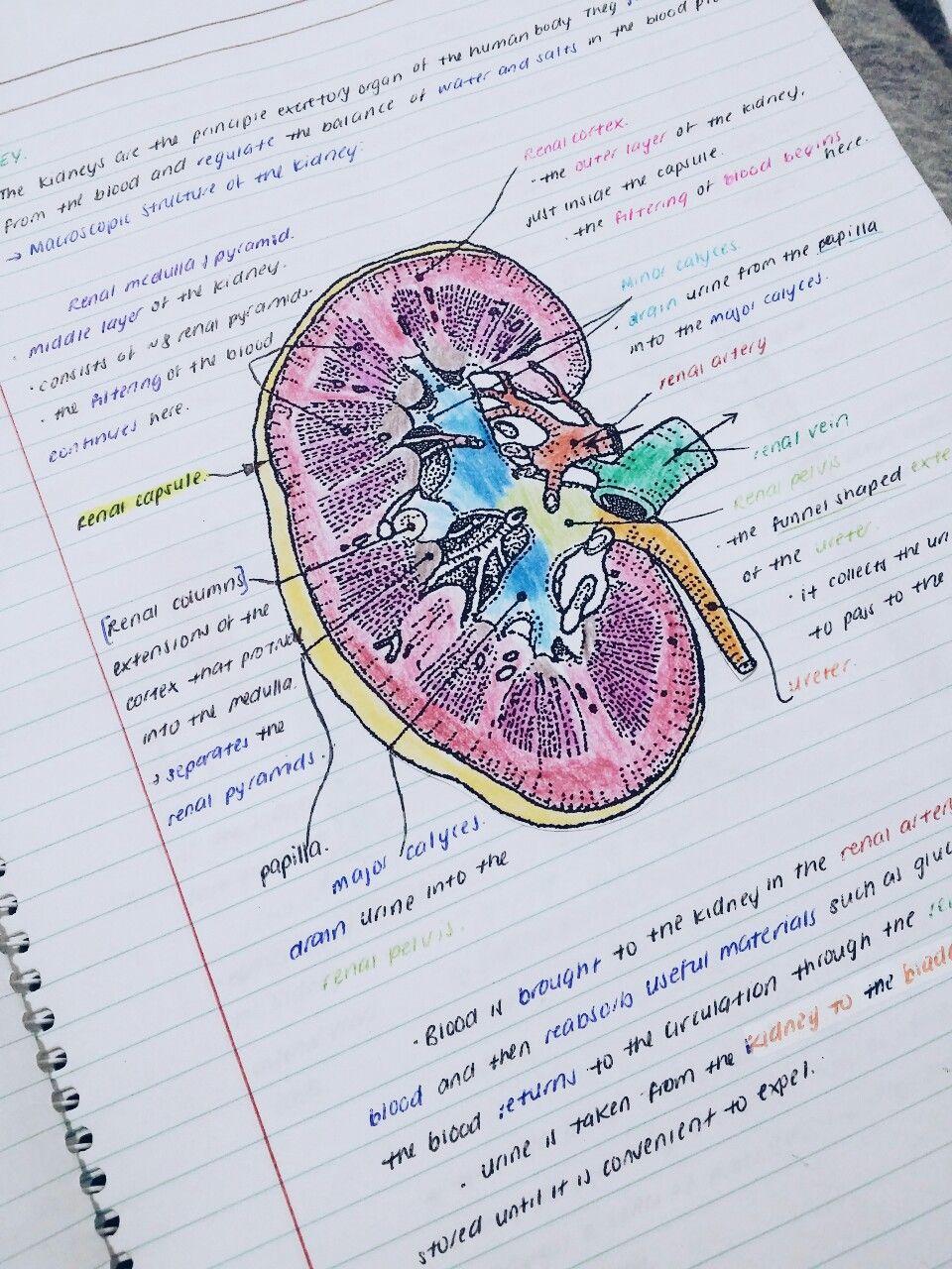 Anatomia Humana Rins | carobelen | Pinterest | Anatomía humana ...