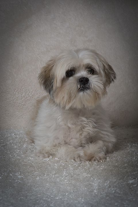 Shih Tzu Dog For Adoption In Weston Fl Adn 405499 On Puppyfinder