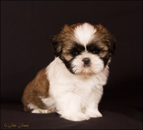 Pin By Joanne Kim On Cute Puppies Shih Tzu Puppies And Kitties Puppy Portraits
