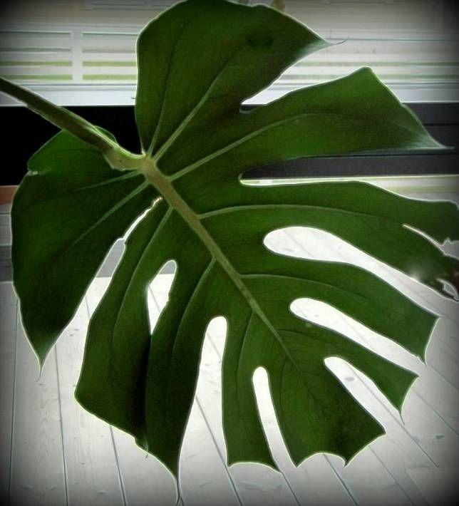 Arleenan S, green plant