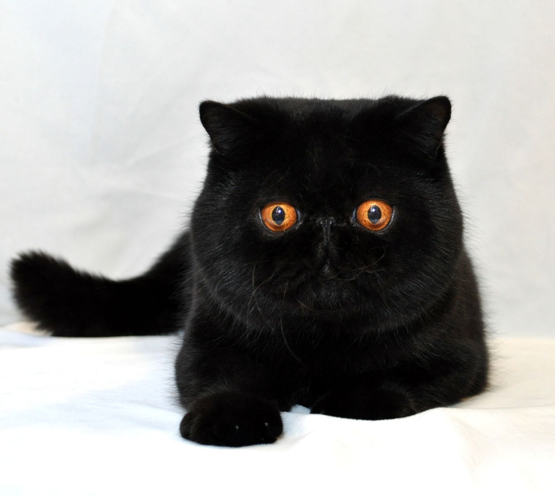 Pin On My Exotic Shorthairs