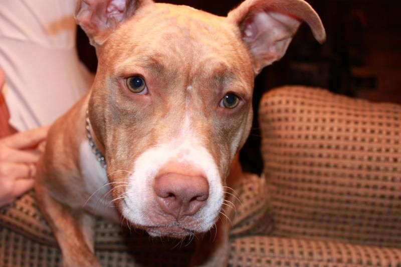 Adopt Ginny On Petfinder Dog People Dogs And Puppies Pitbull Terrier