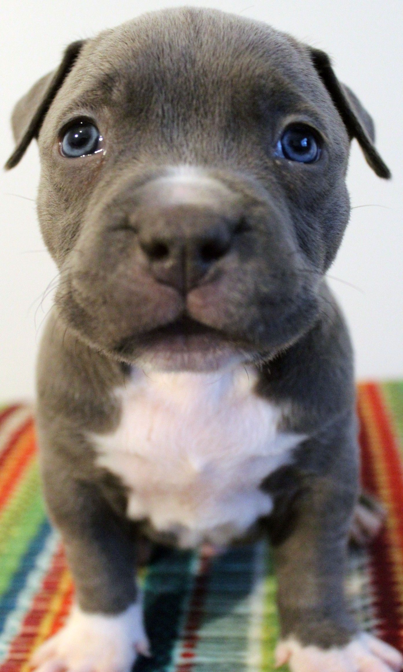 Xl Blue Baby Pitbull Puppy For