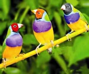 胡錦飼養導讀:又名為五彩文鳥,是一種鮮豔漂亮的鳥種,小編個人想到知名顯示器廠牌view sonic,俗稱三隻小鳥,應該是參考七彩文鳥的吧!言歸正傳,本篇題供飼養鮮豔漂亮的七彩文鳥,所需的人工飼養和繁殖的資訊。