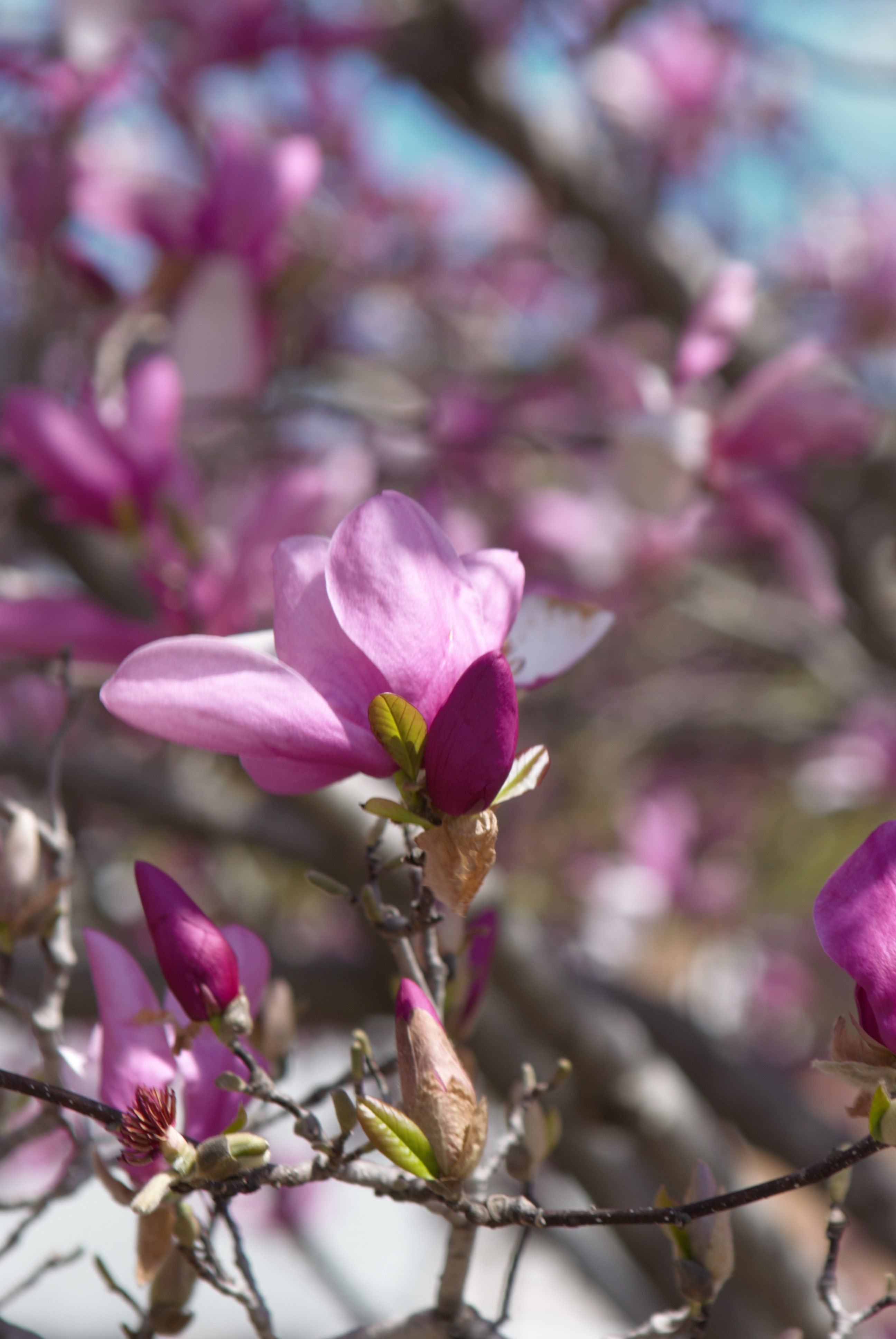 A Pink Magnolia Tree Is Often Called A Tulip Tree In The South A