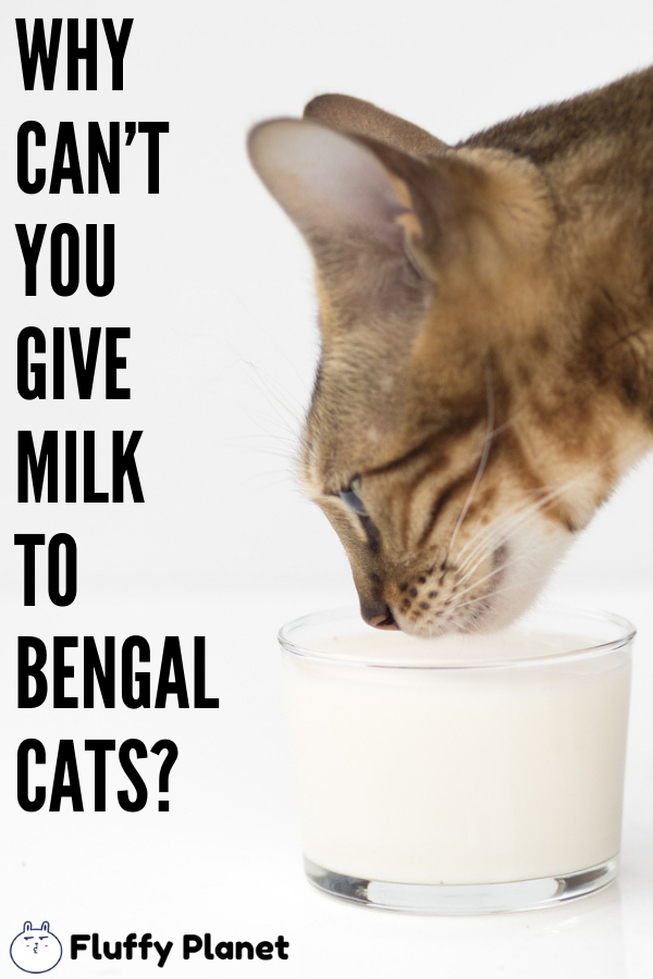 Why Can T You Give Milk To Bengal Cats Bengal Cat Cat Drinking Drink Milk