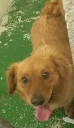 Adopt Foxy On Dogs Golden Retriever Retriever Dog Golden