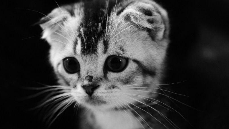 Cute Gray Kitten Hd Wallpaper Grey Kitten Grey Kitten Wallpaper Cats