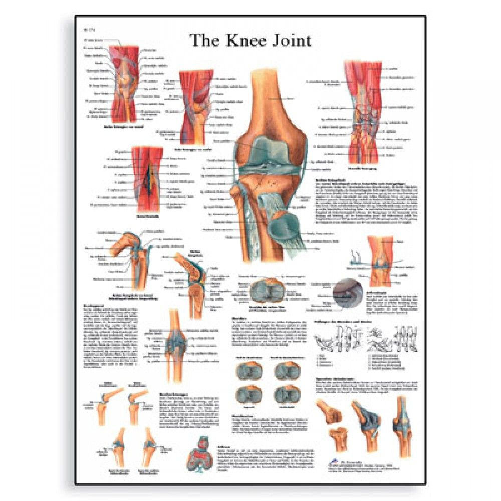 The knee joint laminated chart poster anatomy pinterest the knee joint anatomy chart 1001488 knee anatomy poster ccuart Gallery