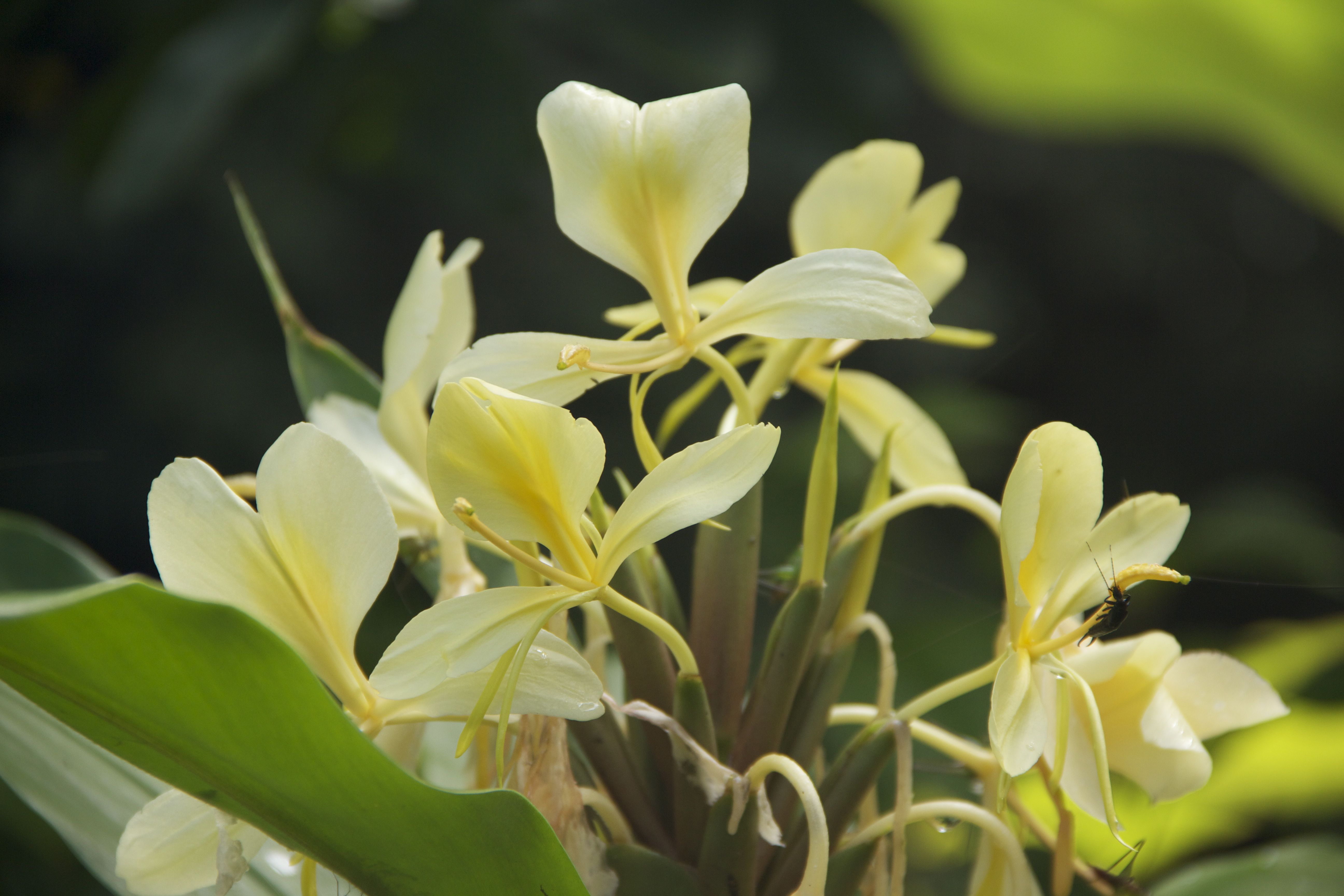 Ginger Lily We Have A Gorgeous White Ginger Lily And Vetiver Attar From India That Is Truly Botanical Perfume Natural Fragrances Essential Oils Aromatherapy