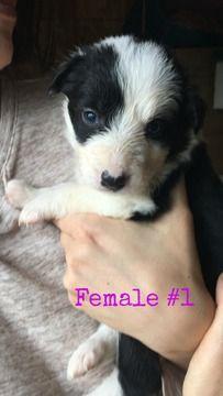 Litter Of 9 Border Collie Puppies For Sale In White Salmon Wa Adn 32683 On Puppyfinder Collie Puppies For Sale Border Collie Puppies Collie Puppies