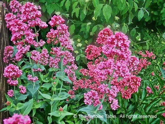 Red Valerian (Jupiter's Beard, Spur Valerian, Kiss Me Quick) - Plant Categories - The Tortoise table