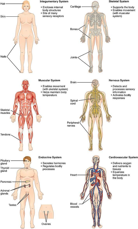 cuales son los músculos más importantes del cuerpo humano wikipedia