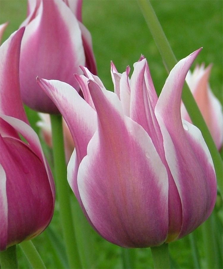 Tulip Ballade Lily Flowering Tulips Tulips Flower Bulb Index Tulips Flowers Bulb Flowers Beautiful Flowers
