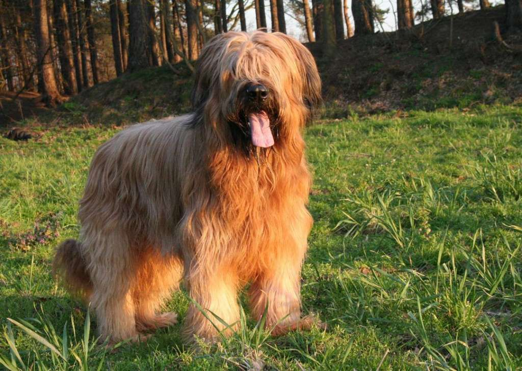 Briard Typical Max Height 27 Inches And Weight 100 Pounds French Sheepdog Is A Shaggy Herding Dog 30 On Biggest D Big Dog Breeds Briard Dog Dog Breeds