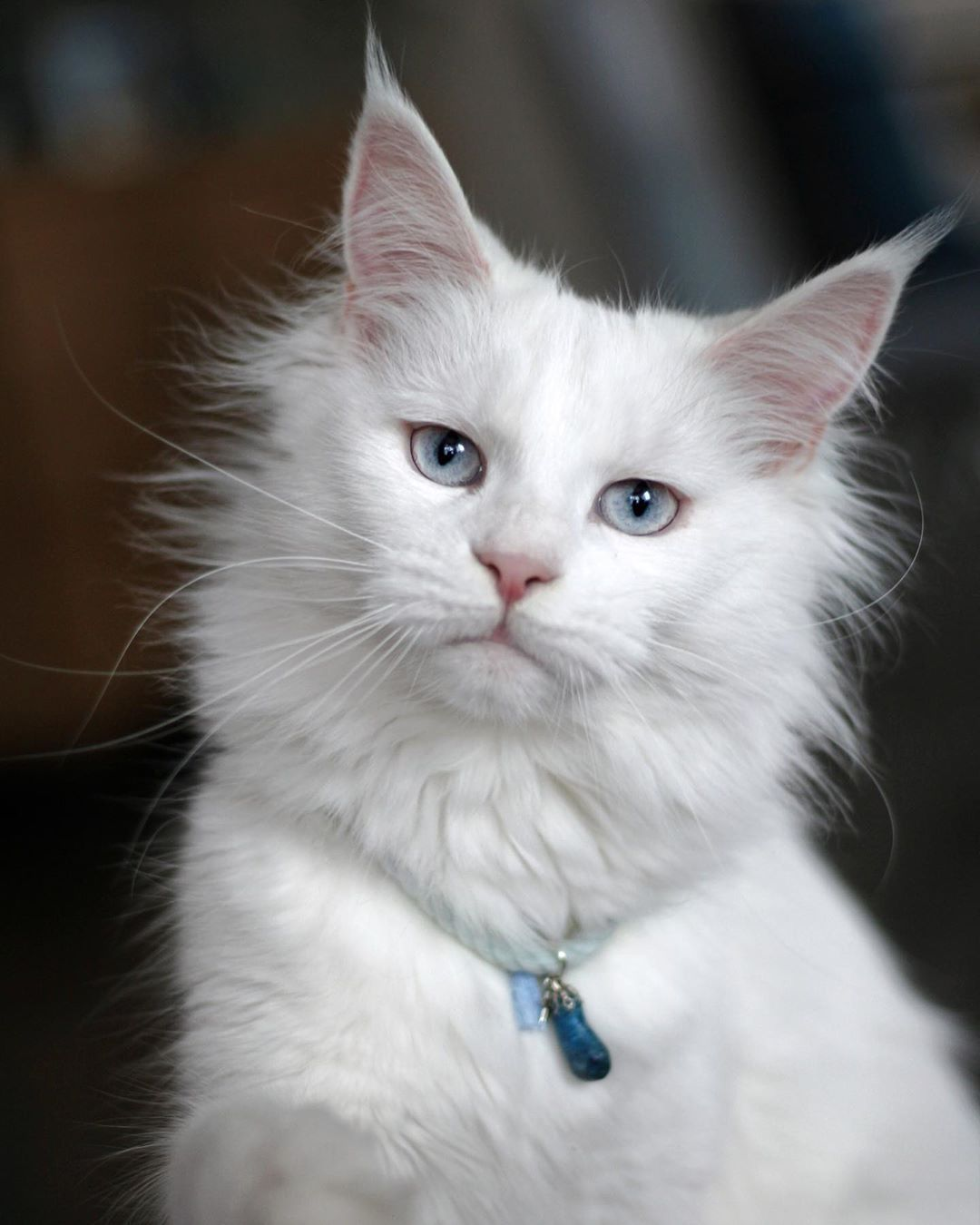 Gorgeous Long Haired White Kitty Maine Cooney Cats Cat With Blue Eyes White Cats