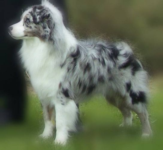Miniature Australian Shepherd Registered Miniature Australian