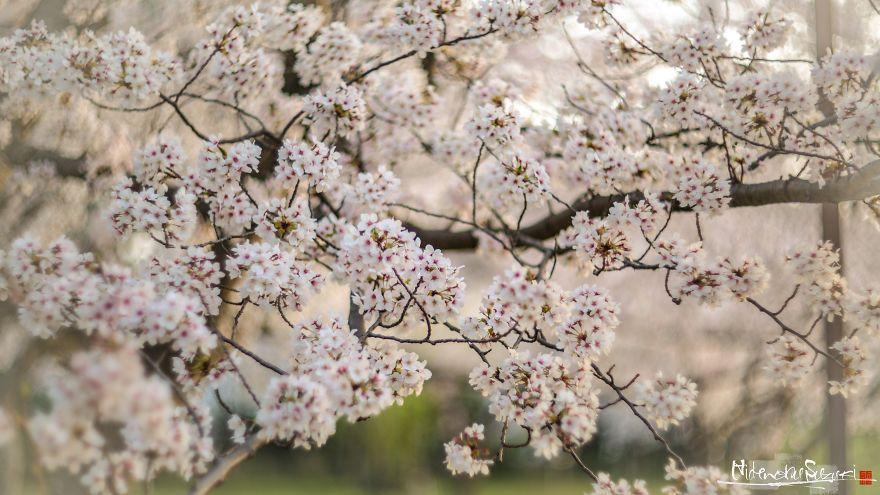 Japan S Oldest Cherry Tree Sakura Bloom Japanese Cherry Tree Cherry Tree