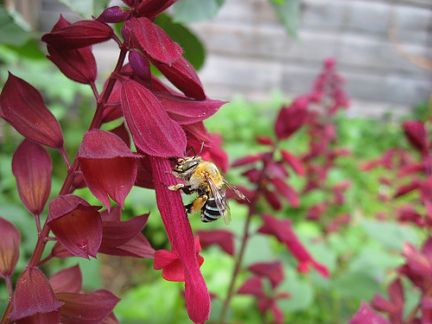 Salvia vanhouttei for side of house