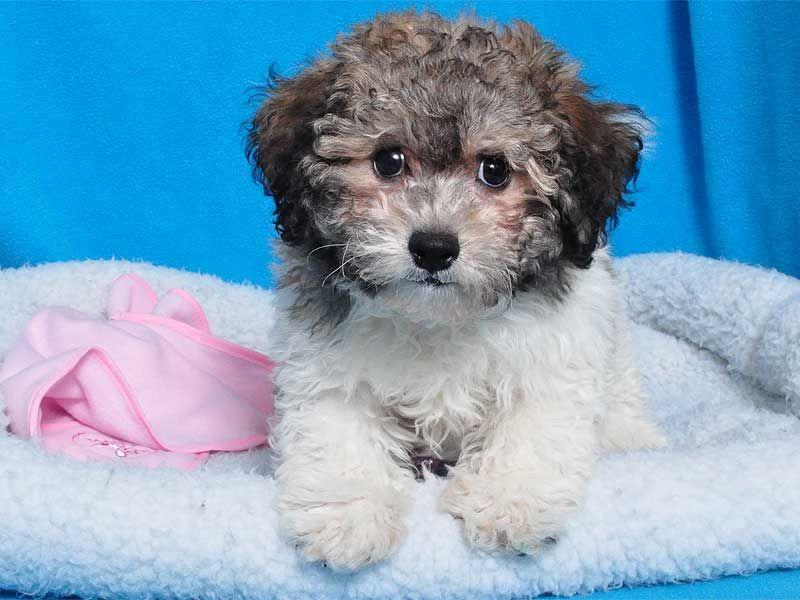Bichon Poodle Mix Female Bichon Poodle Mix Love Pet Emotional