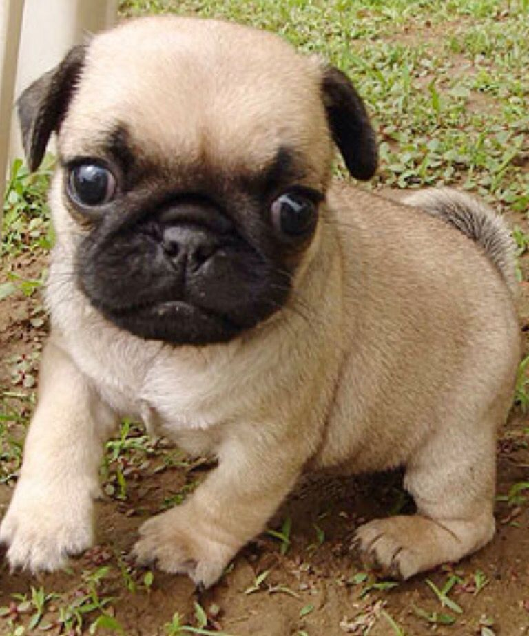 Super Cute Pug Big Eyes Really Fluffy It S Adorable Who Would Want