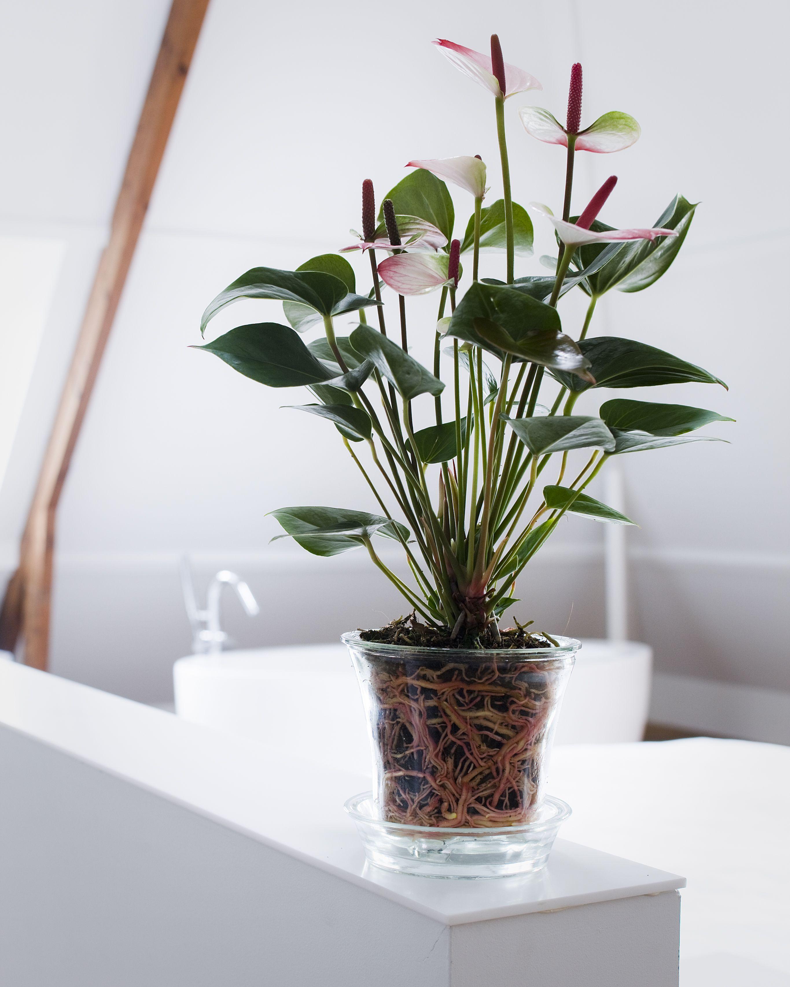Anthurium Anthuriuminfo Anthurium Plants Hydroponic Plants
