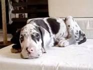 great dane....Our Harley was this little at 1 time...now he's 181lbs ;)