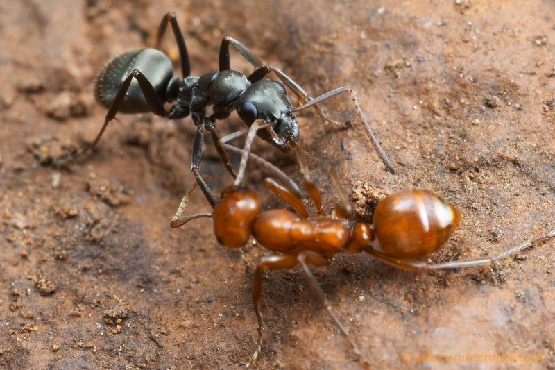 Ants Can Lift Up To 5 000 Times Their Own Body Weight New Study