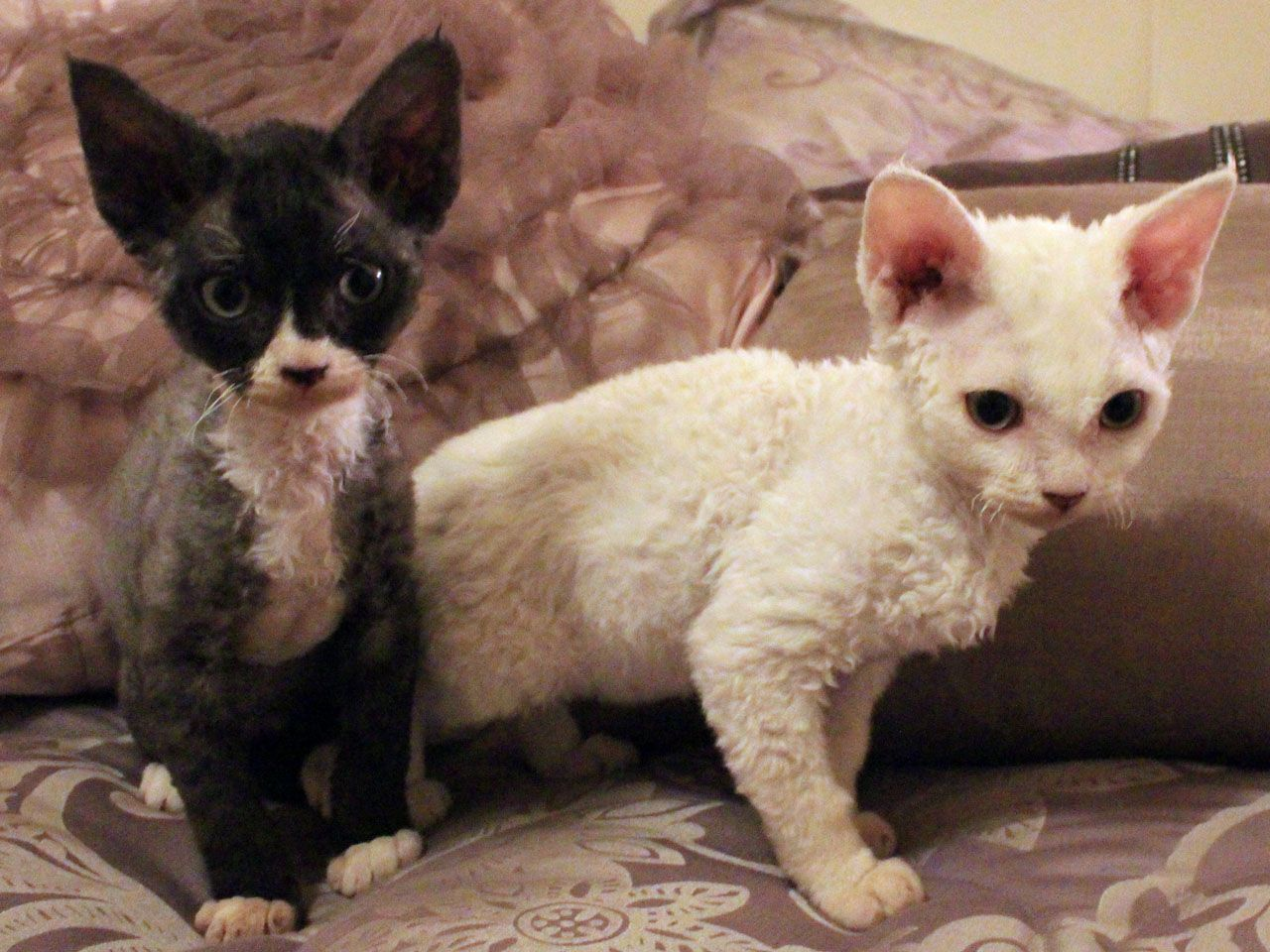 Beautiful Curly Haired Cat Breeds In The World Devon Rex Cats Cat Breeds Rex Cat