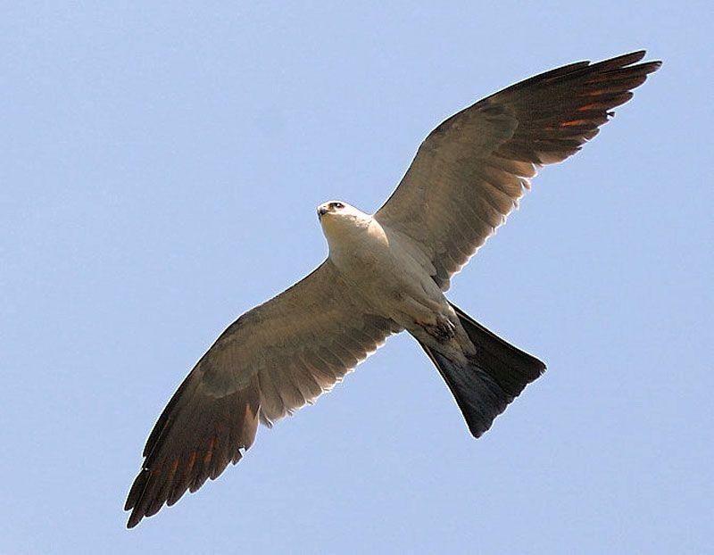Mississippi Kite But Seen In Louisiana Eagle In Flight Pet Birds Kite