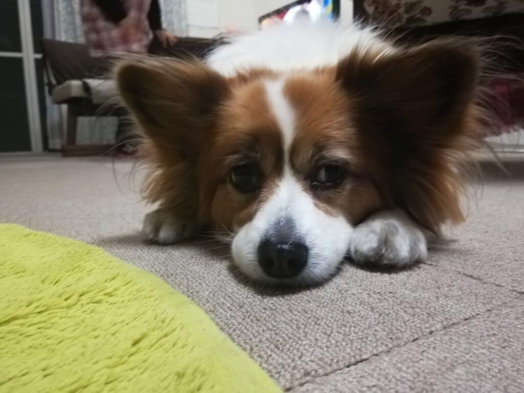パピヨンのかわいい性格は 飼い方は 実際に飼っているからわかる特徴などまとめ パピヨン 犬 小型犬