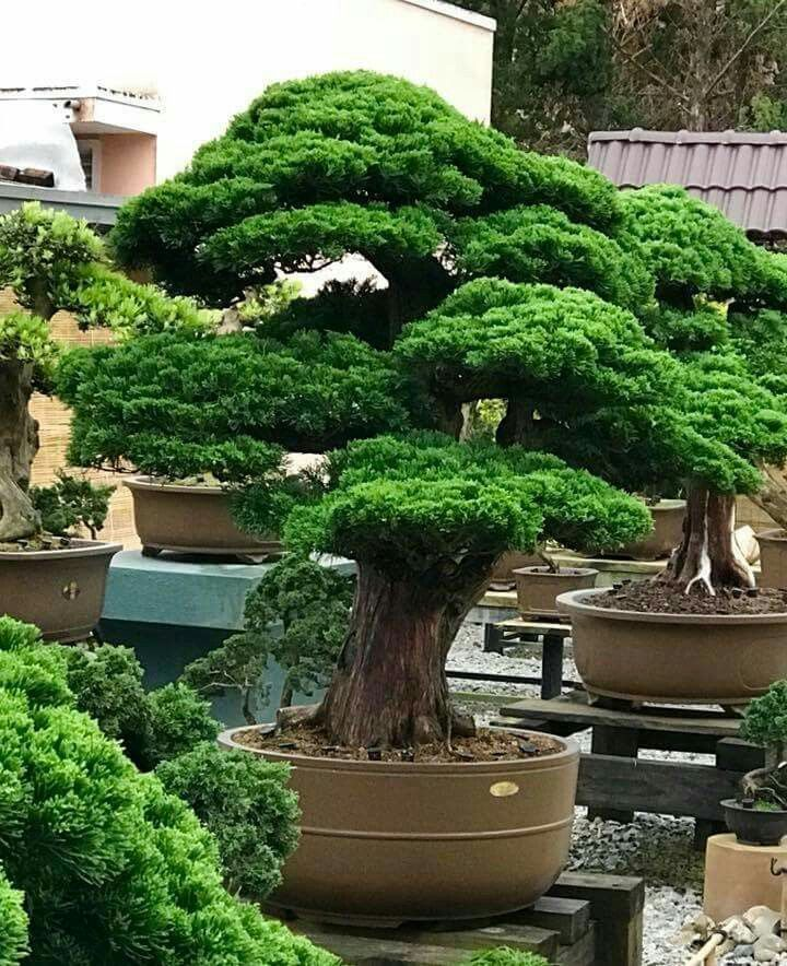Pin di massimo ficili su bonsai bonsai baum bonsai e baum for Alberelli da giardino fioriti