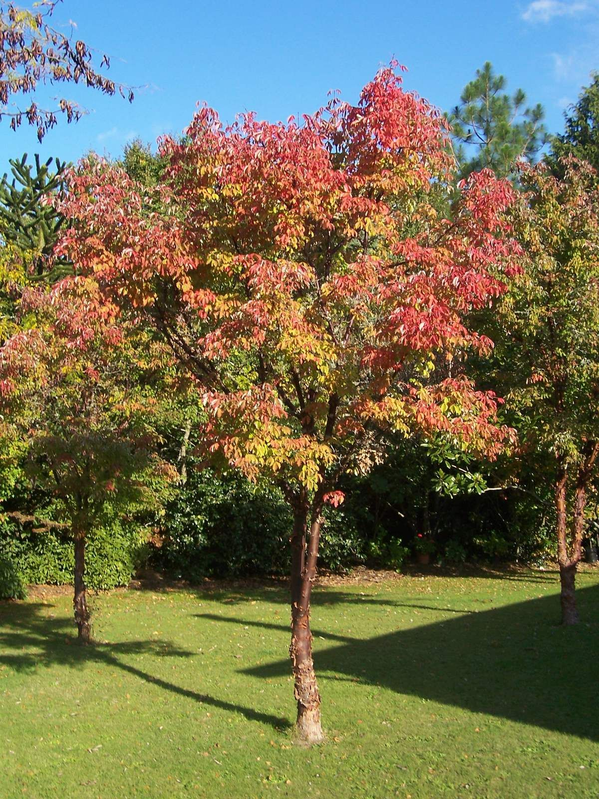 10 rboles para jardines peque os jardiner a acer for Arboles de hoja perenne para jardin