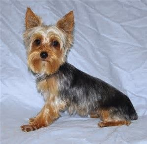 Image Result For Short Haircuts For Yorkie Dogs Yorkie Yorkie Dogs Terrier Breeds