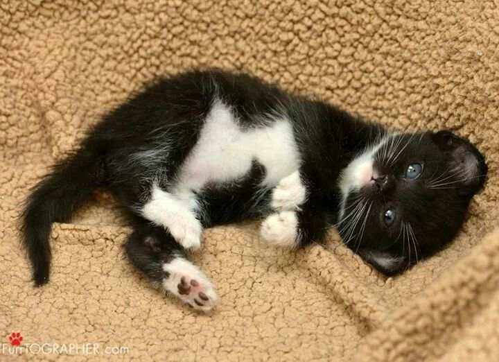 Tiny Black And White Kitten Black And White Kittens Cute