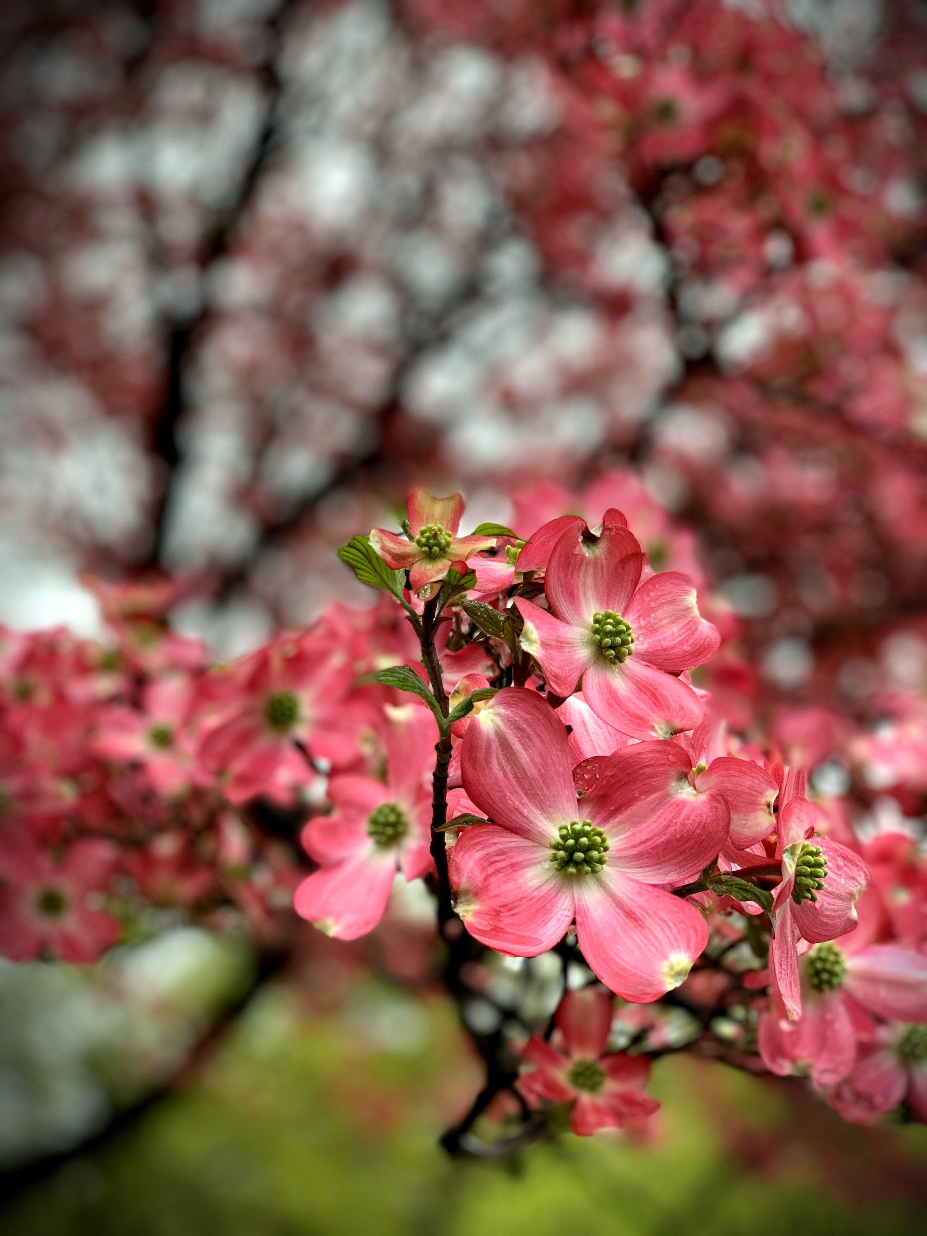 Dogwood Tree Blossoms Flowering Trees Dogwood Trees Blossom