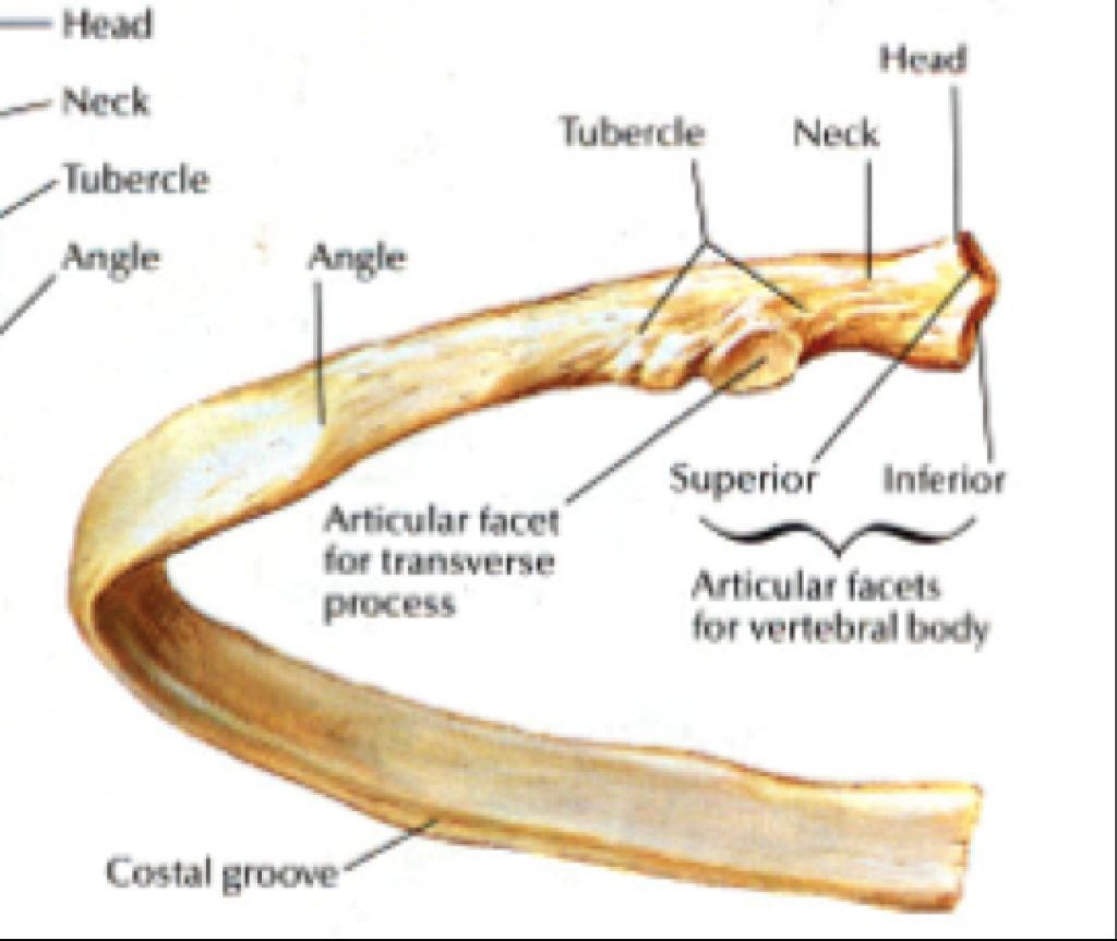 Image Result For Ribs Bone