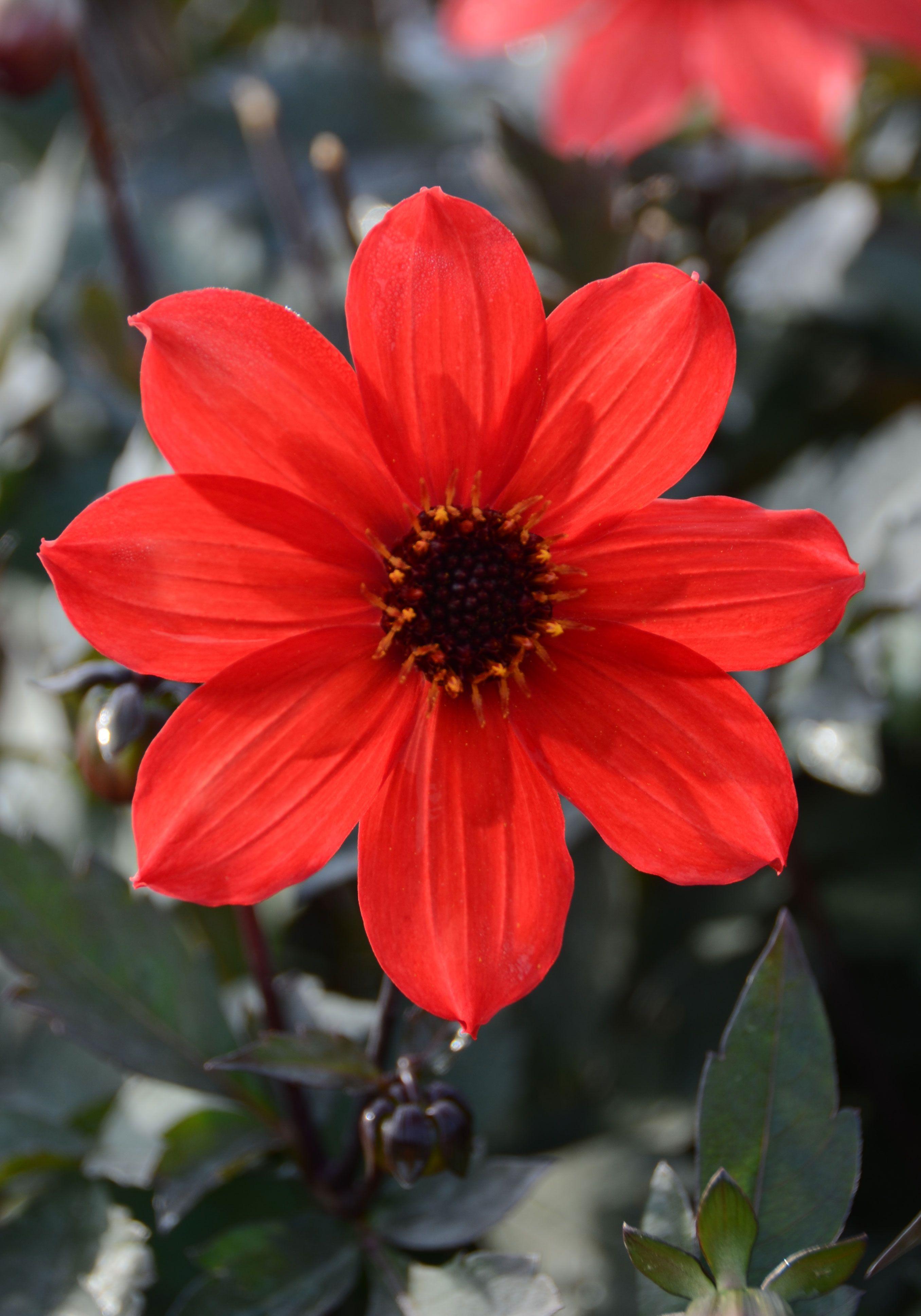 Dahlia Nain Simple Pampa Dahlia Fleur Rouge Feuillage Noir
