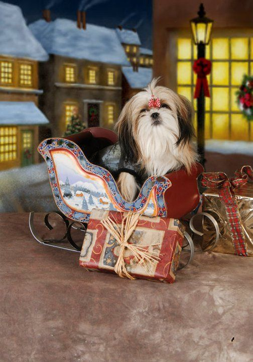 New Shih Tzu Friendzy Shih Tzu Dog Shih Tzu Shih Tzu Puppy