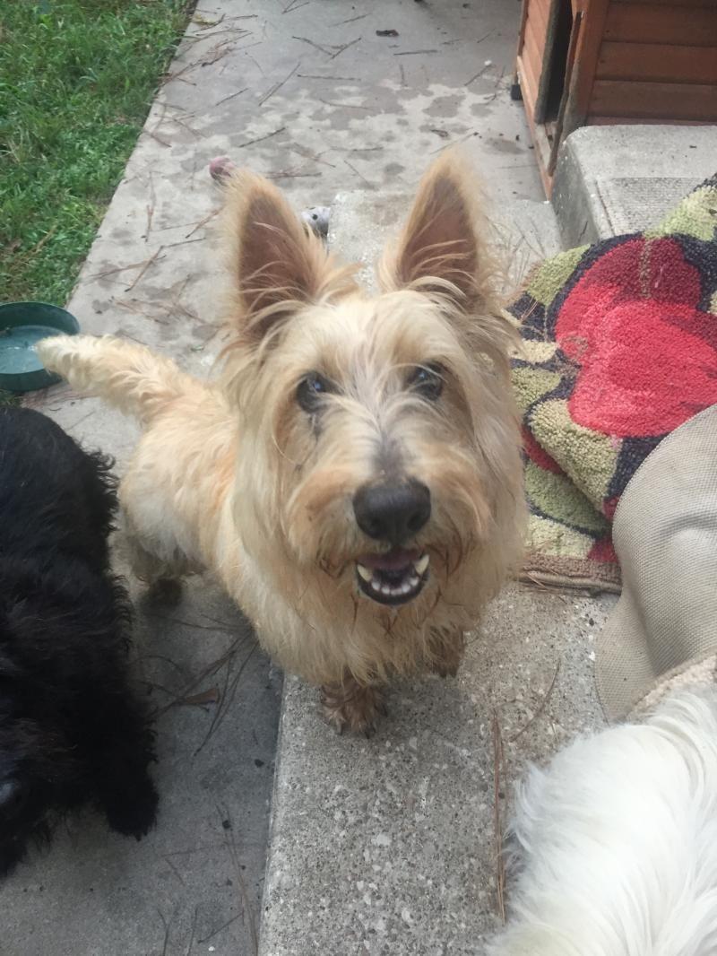 Adopt Walter On Petfinder Scottish Terrier Terrier Dogs Terrier