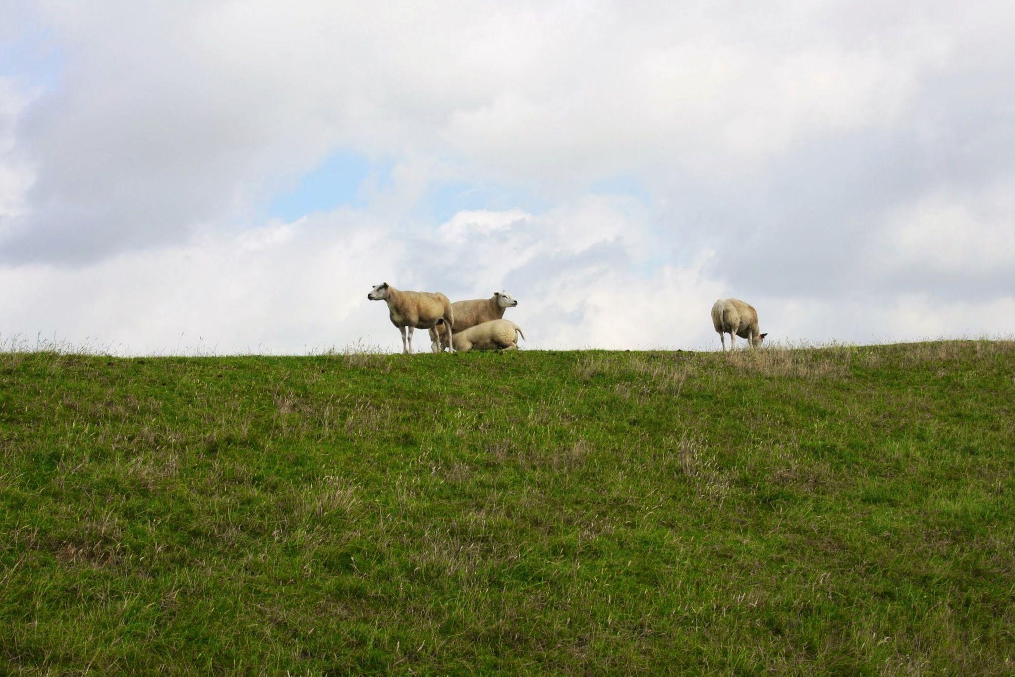 Summer 2013 Stavoren a tribute to Counting Sheep  Hans van der Meer- schapen tellen http://youtu.be/VYTGWLY2Db0