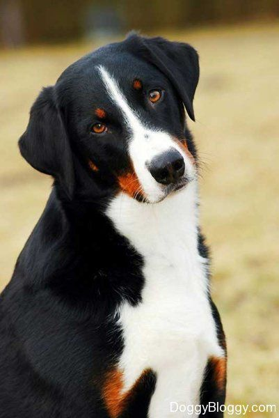 Appenzeller Sennenhunde Entlebucher Mountain Dog Rare Dog